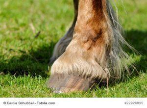 Pferde mit Behang sind anfälliger für MAuke